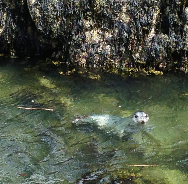 Baby seal at Graves Light, May 3, 2014.