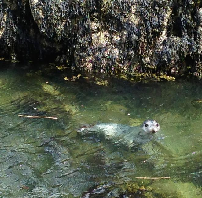 Baby seal at Graves Light, May 3, 2014.