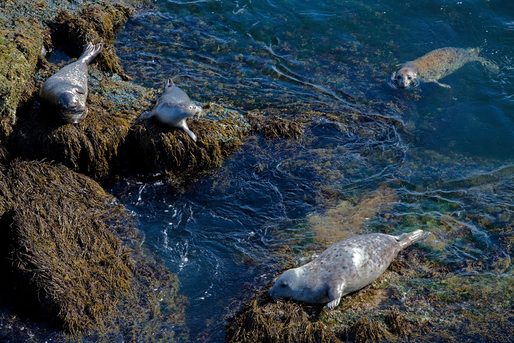 Seal pups have staked out Graves Ledge as their home.